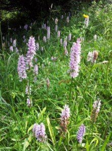 Flowering orchids in a meadow