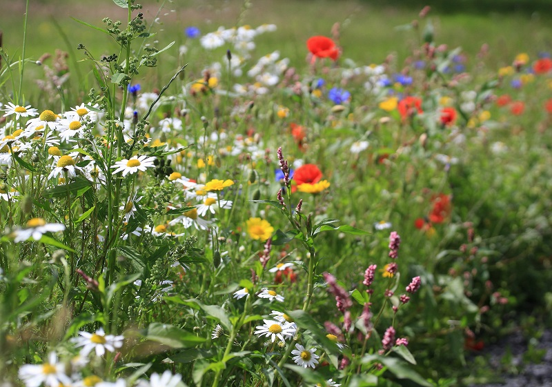 A mix of wild flowers in flower