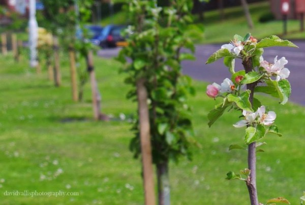 Young apple trees in blossom