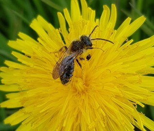 Solitary bee on a dandelion flower