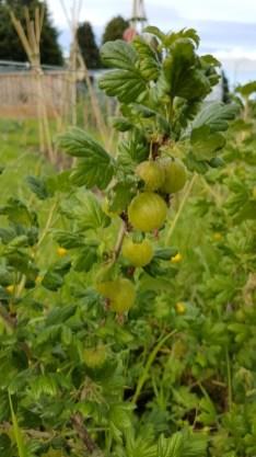 Ripening gooseberries