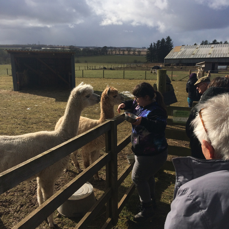 A photo of alpacas at the Bield smallholding