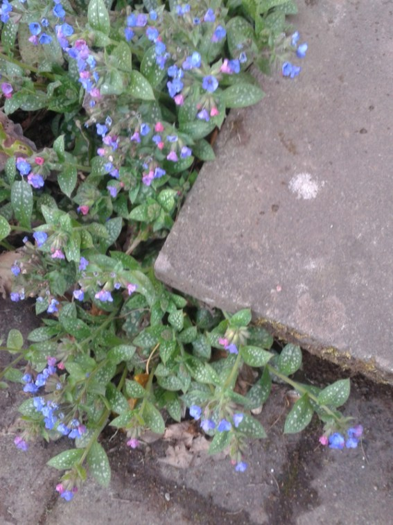Pulmonaria with multicoloured flowers