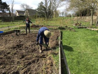 Preparing the bed for peas and beans