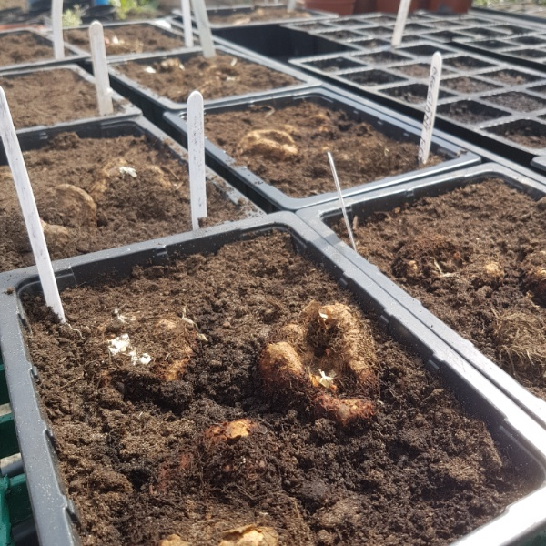 Bringing on begonia bulbs for the hanging baskets