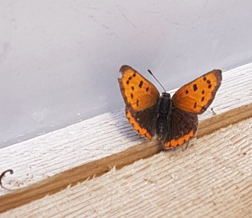 A photo of small copper butterfly