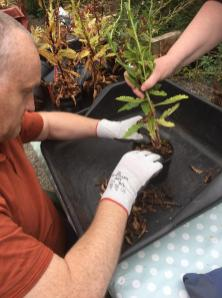 Potting on at the polytunnel