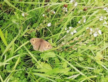 Meadow Brown at Sands of St Cyrus