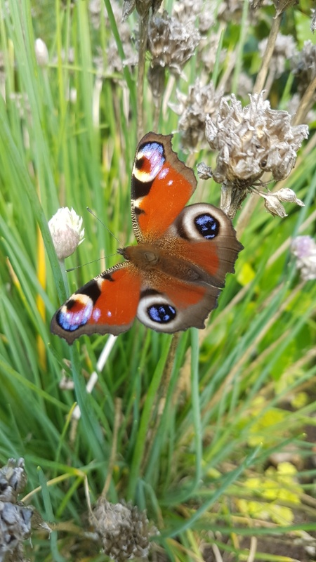 A freshly emerged peacock butterfly