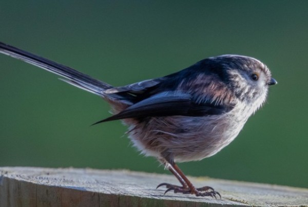 A photo of a long-tailed tit
