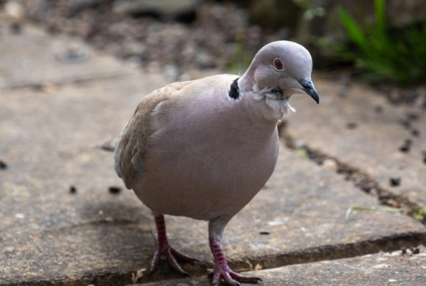 A photo of collared dove