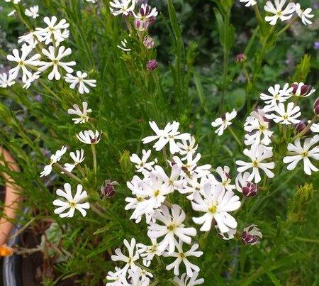 A photo of jasmine flowers