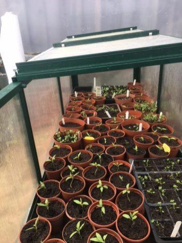Photo showing home sown crops now in the polytunnel
