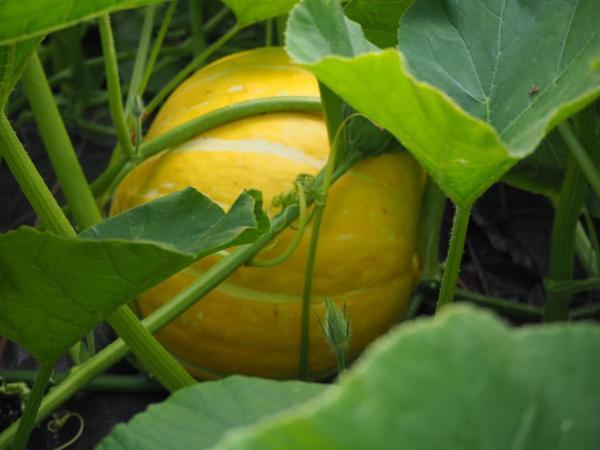 Ripening pumpkin