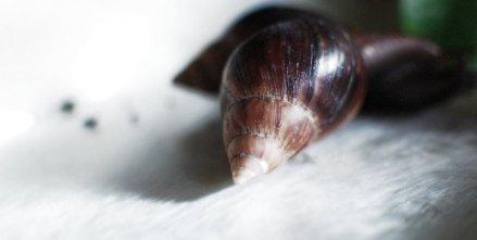 a. fulica