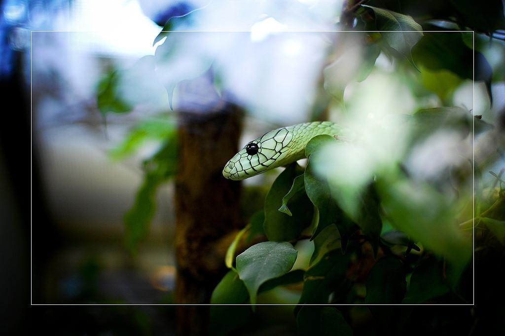Dendroaspis viridis
