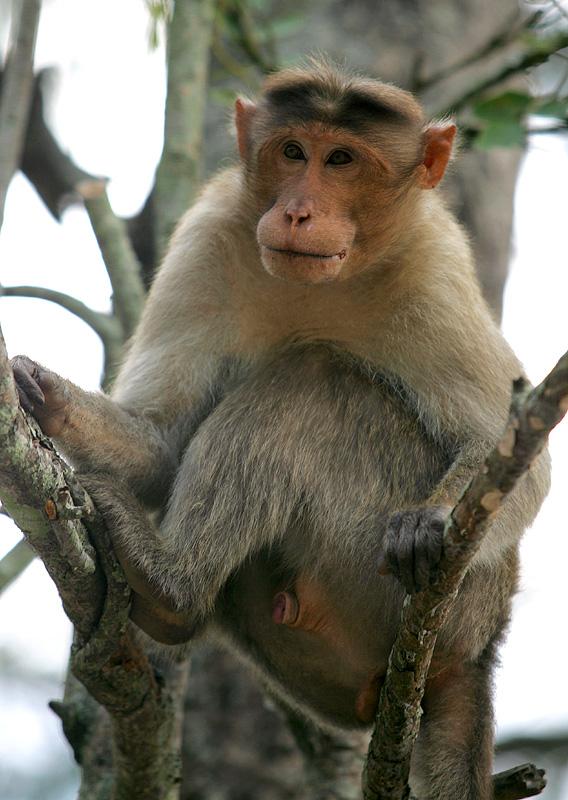 bonnet_macaque