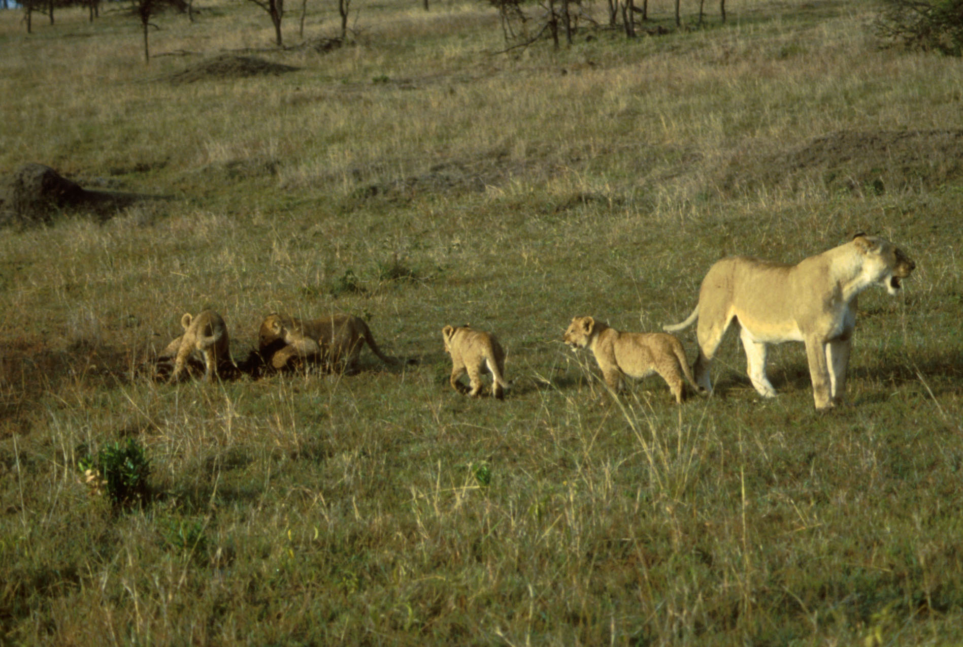 African_Lion_with_Cubs