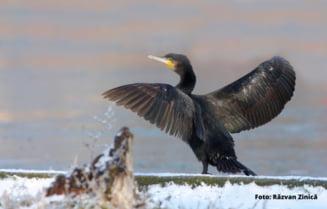 Parlamentarii vor sa porneasca vanatoarea de cormorani. Ce pierdem daca ucidem pasarile