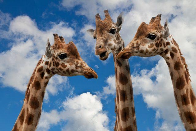 Giraffen-Kommunikation