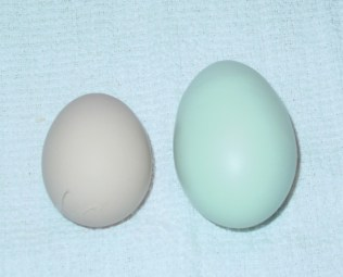 Blue Egg from an Ameraucana