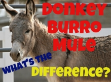 Donky burro mule