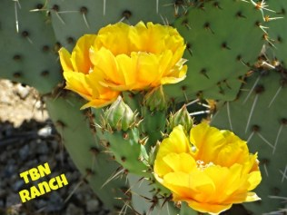 Prickly Pear 6-2015