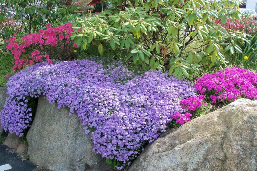 Image result for phlox creeping