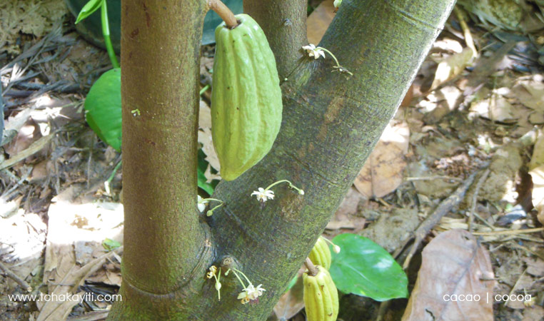 cocoa growing on tree | cacao sur l'arbre