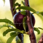 This homegrown plum is from our backyard in Haiti. | tchakayiti.com