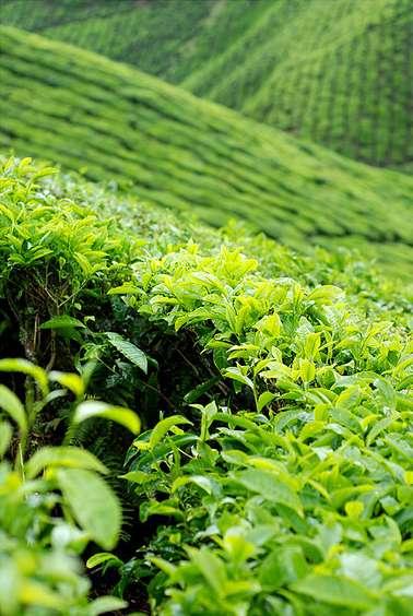 Green tea helps you focus