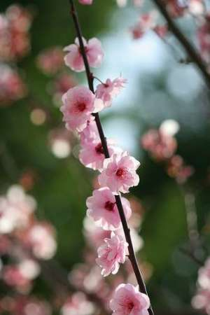 Cherry blossoms on a branch, to be appreciated by chajin