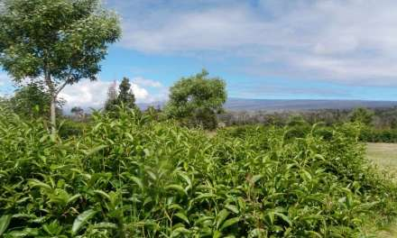 Exploring the Hawaii-grown tea industry