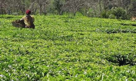Empowering Kenya's small-scale tea farmers