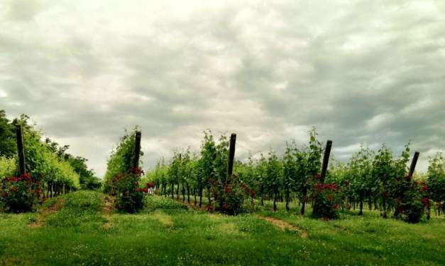 Tea and wine: Vintages and terroir