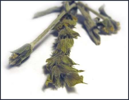 Greek mountain tea – a winter favorite