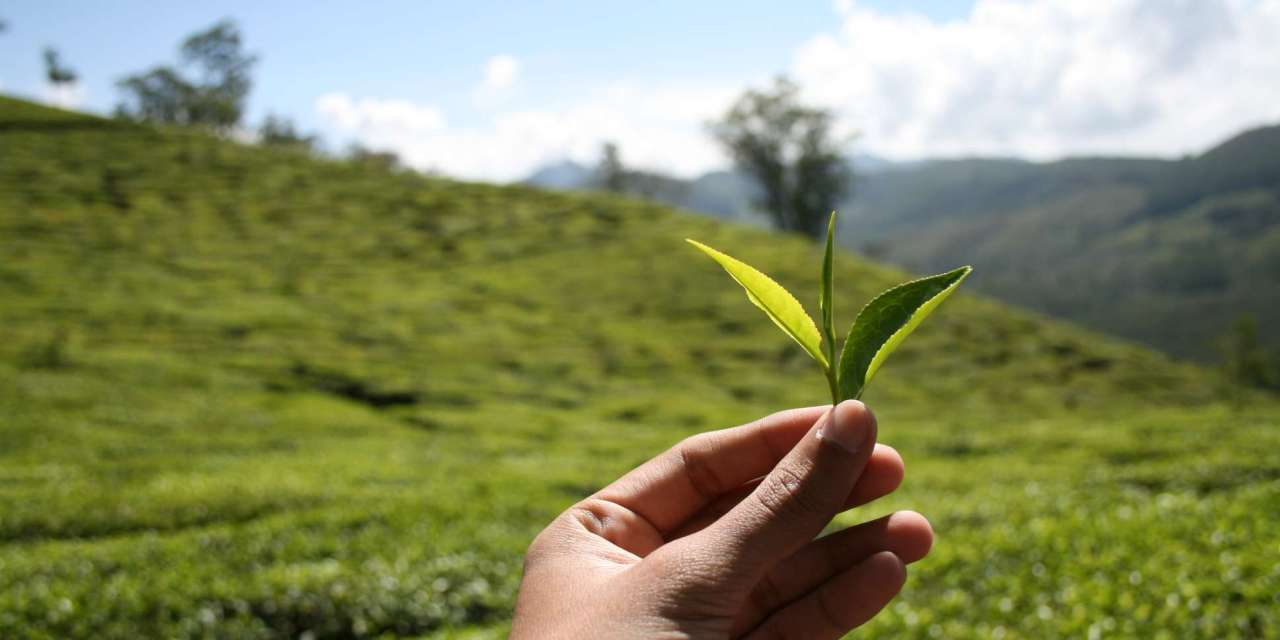 Green tea assisting chemotherapy in fighting cancer.