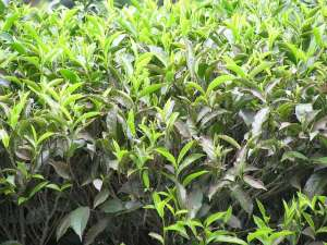 tea bushes