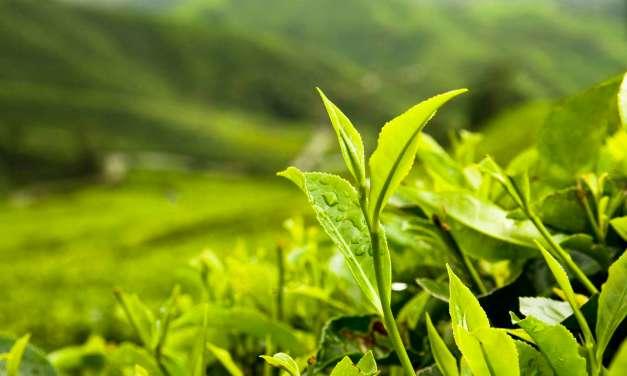 The Importance of Organic Tea