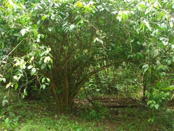 Photo_of_Ilex_Guayusa_tree