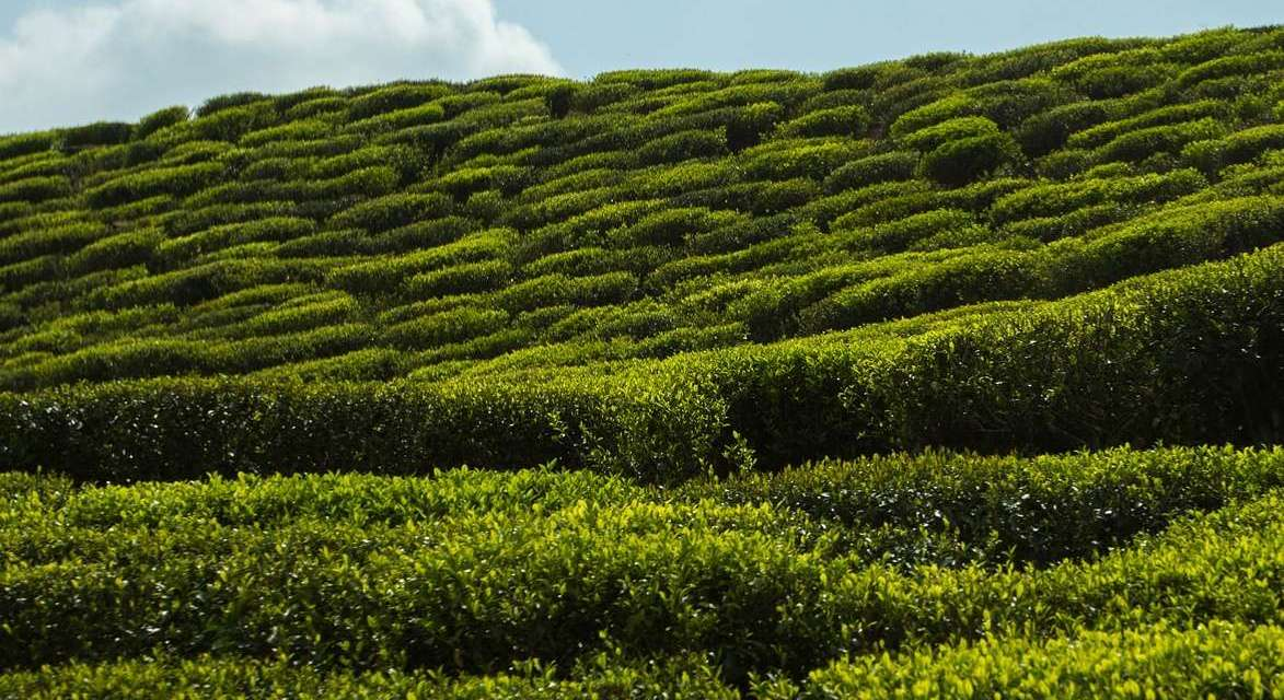 What is Sustainability for Tea – Environment