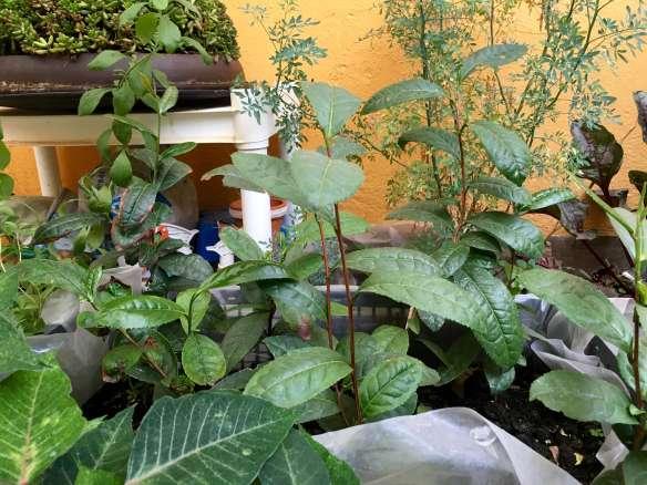tea-garden-in-mexico