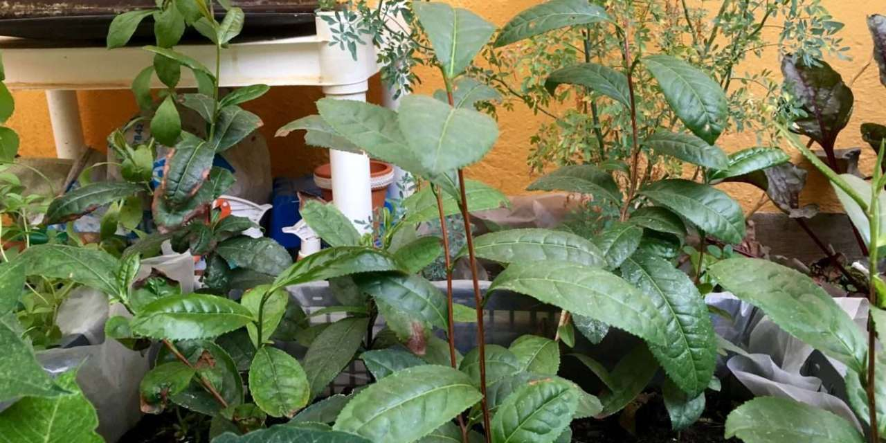 Growing and Processing Tea Plants at Home