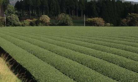 Shining the Spotlight on Great Japanese Cultivars – Part Two