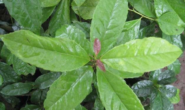 Guayusa Tea Benefits Part 1