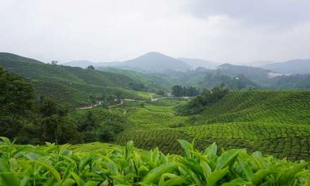 Blast From the Past: Ancient Tea Forest