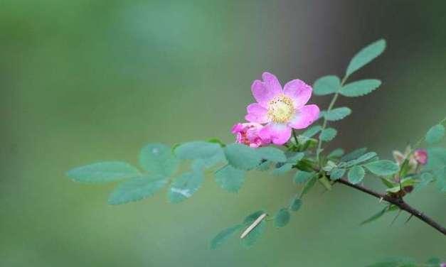 Rose Hip Tisane