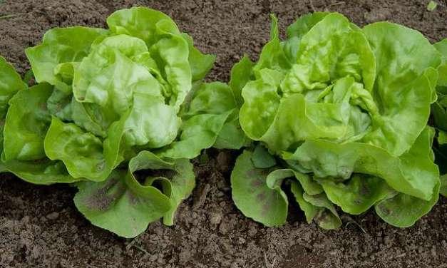 Lettuce Leaf Tea……..?
