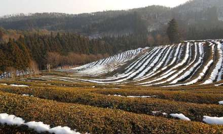 Blast From the Past: The winter life of tea