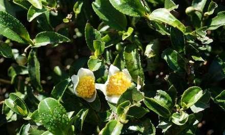 Decaf Tea – Au Naturel